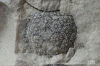 Cyclocrinites spasskii Eichwald, 1840, GIT 156-1187-1