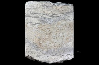 Dasyporella sp., GIT 156-1580