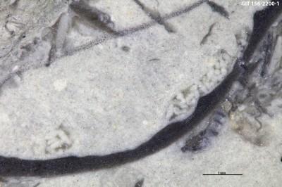 Coprulidae