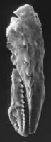 <i>Mochtyella cristata Kielan-Jaworowska, 1961</i><br />Värsso F-362 borehole, 109.20 m, Keila Stage