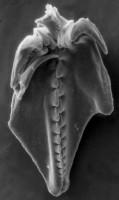 <i>Polychaetaspis gadomskae Kielan-Jaworowska, 1966</i><br />Värsso F-362 borehole, 112.05 m, Idavere Substage