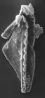<i>Polychaetaspis gadomskae Kielan-Jaworowska, 1966</i><br />Värsso F-362 borehole, 111.00 m, Jõhvi Substage