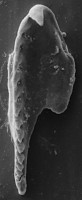 <i>Polychaetaspis latus Kielan-Jaworowska, 1966</i><br />Metsküla F-198 borehole, 41.88 m, Jõhvi Substage
