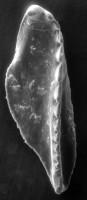 <i>Polychaetaspis sp. A Hints, 1998</i><br />Apraksin Bor 17 borehole, Leningrad Oblast, 105.50 m, Keila Stage