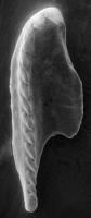 <i>Polychaetaspis sp. A Hints, 1998</i><br />Apraksin Bor 17 borehole, Leningrad Oblast, 104.15 m, Keila Stage