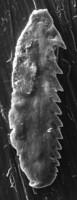 <i>Mochtyella polonica Kielan-Jaworowska, 1966</i><br />Rapla borehole, 121.80 m, Rakvere Stage