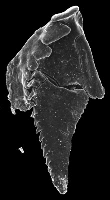 <i>Tretoprion astae Hints, 1999</i><br />Laeva 18 borehole, 222.40 m, Vormsi Stage (GIT 160-13)