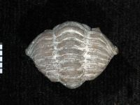 Calymene blumenbachi Brongniart, 1822, GIT 174-37