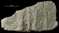 Diplocraterion parallelum Torell, 1870, GIT 176-4