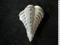 Encrinurus punctatus (Wahlenberg, 1821), GIT 177-24