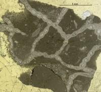 Favosites serratus Sokolov, 1952, GIT 180-214