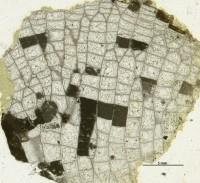 Favosites vectorius Klaamann, 1962, GIT 180-21