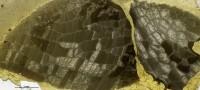Favosites favosus (Goldfuss, 1826), GIT 180-351