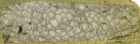 Favosites pseudoforbesi ohesaarensi, Klaamann, 1962, GIT 180-667
