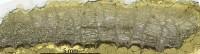 Favosites pseudoforbesi ohesaarensi, Klaamann, 1962, GIT 180-669