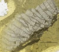 Favosites pseudoforbesi ohesaarensi, Klaamann, 1962, GIT 180-675