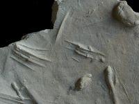 Dimorphichnus isp., GIT 181-15