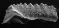 Kockelella ranuliformis? (Walliser, 1964), GIT 188-1