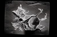 <i>Ancyrochitina gutnica Laufeld, 1974</i><br />Ruhnu 500 borehole, 371.50 m, Jaagarahu Stage