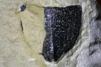 Ptyctodontida