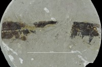 Eurypterida