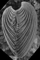 Horderleyella kegelensis kegelensis (Alichova, 1953), GIT 207-100