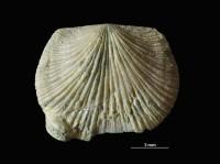 Horderleyella kegelensis oanduensis Hints, 1975, GIT 207-102