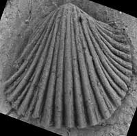 Howellites wesenbergensis (Wysogorski, 1900), GIT 207-29