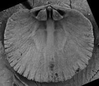 Howellites wesenbergensis (Wysogorski, 1900), GIT 207-30