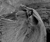 Howellites wesenbergensis (Wysogorski, 1900), GIT 207-31