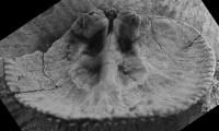 Howellites wesenbergensis (Wysogorski, 1900), GIT 207-33