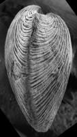 Horderleyella kegelensis kegelensis (Alichova, 1953), GIT 207-95