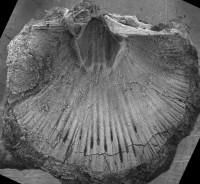 Horderleyella kegelensis kegelensis (Alichova, 1953), GIT 207-96