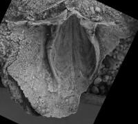 Horderleyella kegelensis kegelensis (Alichova, 1953), GIT 207-97