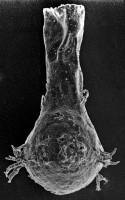 <i>Ancyrochitina convexa Nestor, 1980</i><br />Ruhnu 500 borehole, 536.00 m, Raikküla Stage