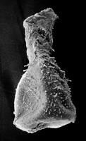 <i>Sphaerochitina indecora Nestor, 1982</i><br />Ruhnu 500 borehole, 293.70 m, Jaagarahu Stage