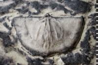 Eochonetes nubila (Rõõmusoks, 1981), GIT 242-3