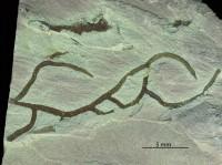 Dendrorhaphe isp., GIT 246-15