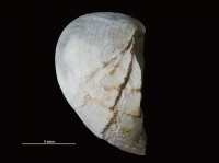 Bekkerina dorsata (Bekker, 1921), GIT 251-170