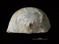 Bekkerina dorsata (Bekker, 1921), GIT 251-179