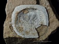 Craniiformea