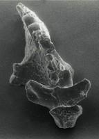 Icriognathus cornutus Männik, 1992, GIT 252-11