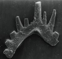 Ozarkodina excavata puskuensis Männik, 1994, GIT 254-14