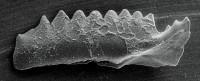 Kockelella manitoulinensis (Pollock, Rexroad et Nicoll, 1970), GIT 254-29