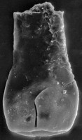 <i>Vitreachitina sp. 2 Nestor, 1994</i><br />Nagli 106 borehole, 625.10 m, Adavere Stage