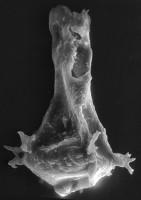 <i>Ancyrochitina aff. convexa Nestor, 1980</i><br />Viki borehole, 189.45 m, Adavere Stage