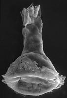 <i>Clathrochitina aff. clathrata Eisenack, 1959</i><br />Kirikuküla borehole, 11.50 m, Adavere Stage