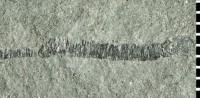 Onuphionella cf. durhami Signor et McMenamin, 1988, GIT 293-135