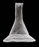 Chitinozoa