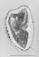 Estlandia marginata (Pahlen, 1877), GIT 321-3
